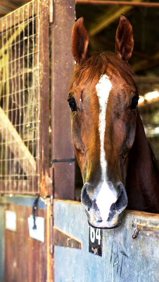Horse in Stable at St Pat's Races, Broken Hill